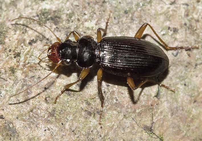 Leistus nitidus  - Bartläufer -  - Carabidae - Laufkäfer - ground beetles