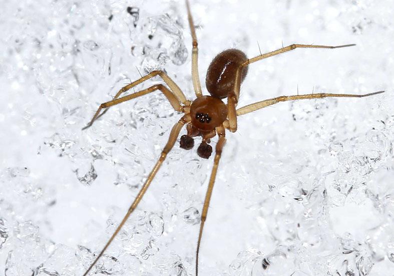Lepthyphantes cristatus - Fam.  Linyphiidae  - Baldachinspinnen - Araneae - Webspinnen - orb-weaver spiders