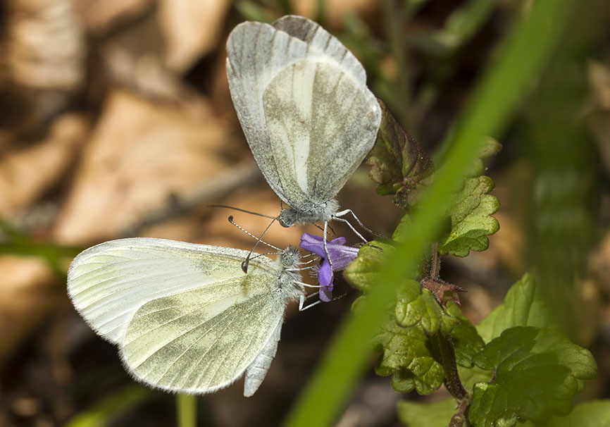 Leptidea  sinapis - Tintenfelck-Weißling -  - Pieridae - Weißlinge - whites