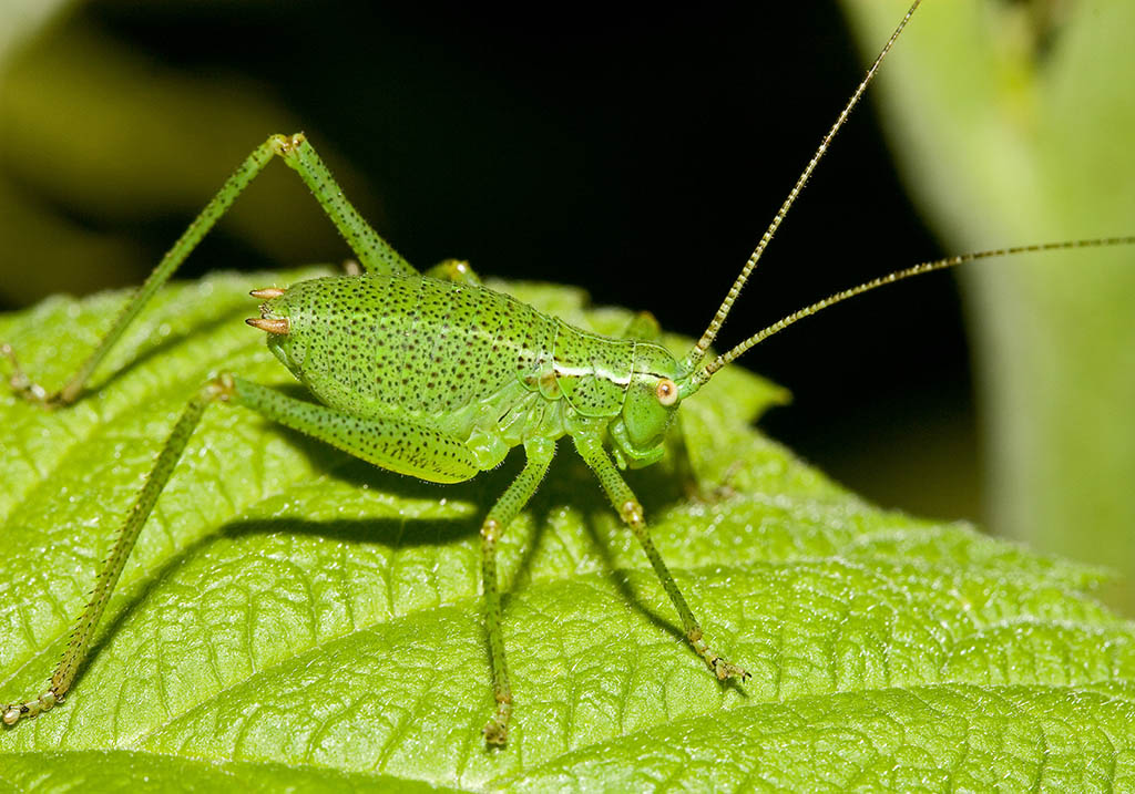 Leptophyes punctatissima -  - Tettigoniidae - Laubheuschrecken - bush crickets
