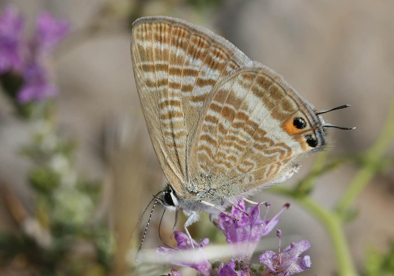 Leptotes boeticus - Tilos - Lycaenidae  - Bläulinge  -  gossamer-winged butterflies