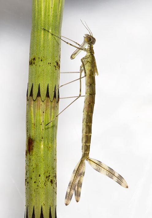Lestes sponsa Gemeine Binsenjungfer - Fam. Lestidae - Teichjungfern - Zygoptera - Kleinlibellen - damselflies