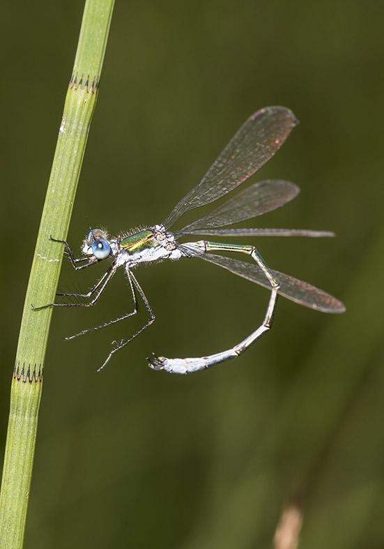 Lestes sponsa - Gemeine Binsenjungfer - Fam. Lestidae - Teichjungfern - Zygoptera - Kleinlibellen - damselflies