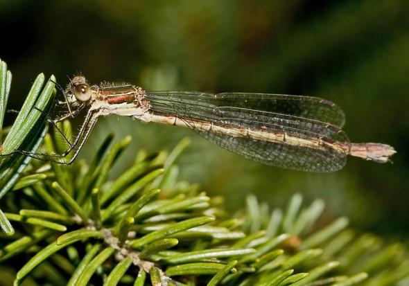 Lestes virens - Kleine Binsenjungfer - Fam. Lestidae - Teichjungfern - Zygoptera - Kleinlibellen - damselflies
