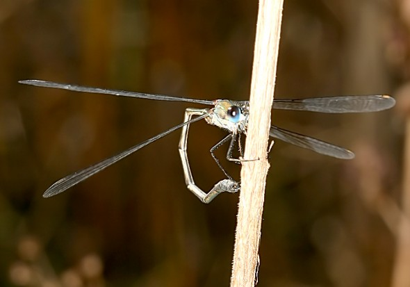 Lestes viridis  - Weidenjungfer - Fam. Lestidae - Teichjungfern - Zygoptera - Kleinlibellen - damselflies