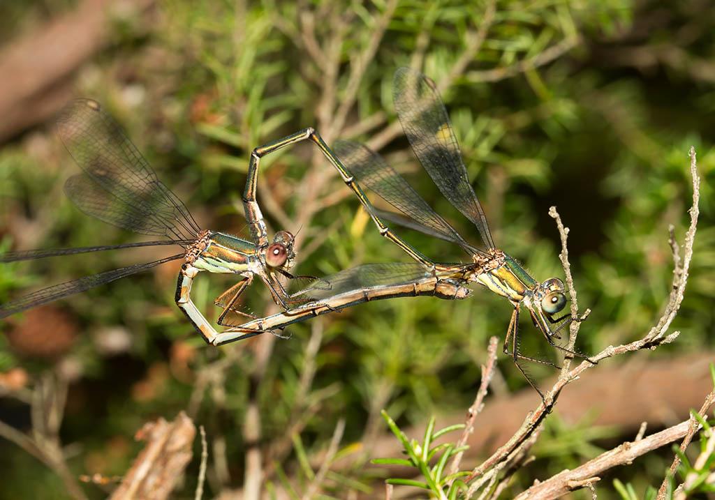 Lestes viridis - Weidenjungfer - Fam. Lestidae  -  Sardinien - Zygoptera - Kleinlibellen - damselflies