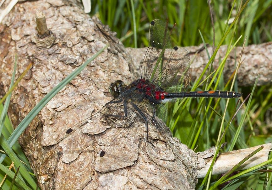 Leucorrhinia dubia - Kleine Moosjungfer - Fam. Libellulidae - Segellibellen - Anisoptera - Großlibellen - dragonflies