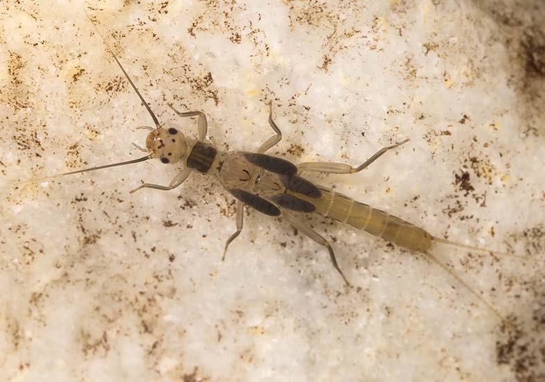 Leuctra sp. -  - Plecoptera - Steinfliegen - stoneflies
