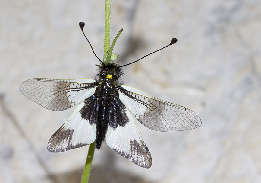 Libelloides lacteus - Zagori - Epirus - Neuroptera - Netzflügler - net-winged insects
