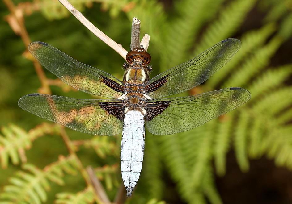 Libellula depressa - Plattbauch Männchen - Fam. Libellulidae  -  Ikaria - Anisoptera - Großlibellen - dragonflies
