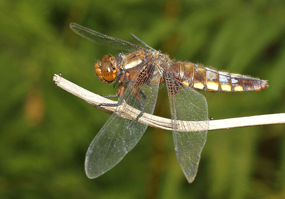 Libellula depressa - Plattbauch Weibchen - Fam. Libellulidae  -  Ikaria - Anisoptera - Großlibellen - dragonflies