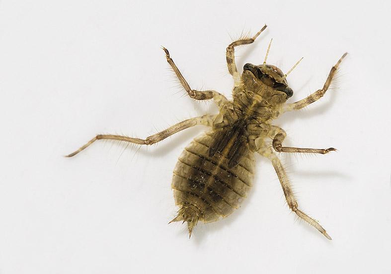 Libellula  depressa - Plattbauch - Fam. Libellulidae - Segellibellen - Anisoptera - Großlibellen - dragonflies