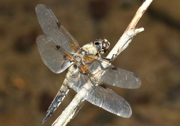 Libellula quadrimaculata - Vierfleck - Fam. Libellulidae - Segellibellen - Anisoptera - Großlibellen - dragonflies