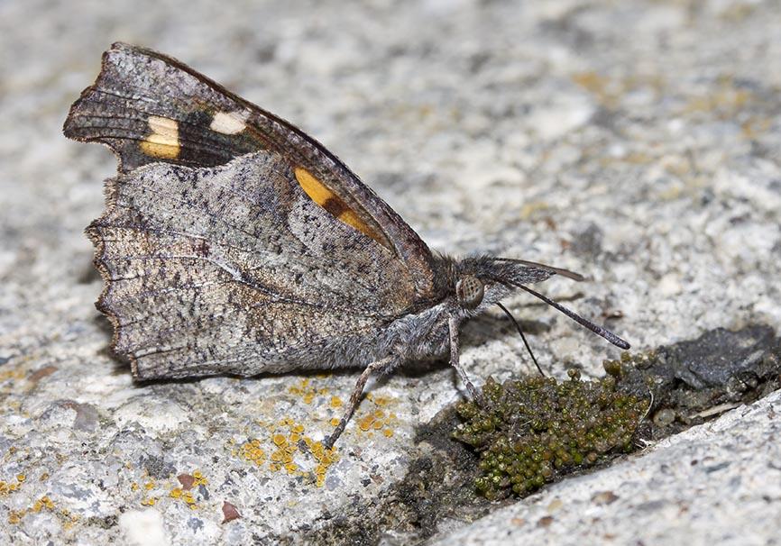 Libythea celtis - Zürgelbaum-Schnauzenfalter - Meteora - Thessalien - Nymphalidae - Edelfalter - brush-footed butterflies