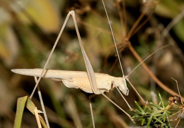 Tylopsis liliifolia - Lilienblatt Sichelschrecke  - Samos - Ensifera - Phaneropteridae - Sichelschrecken -