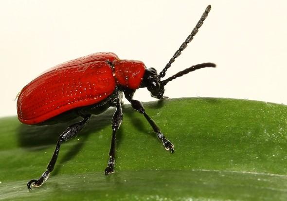 Lilioceris lilii - Lilienhähnchen -  - Chrysomelidae - Blattkäfer - leaf beetles