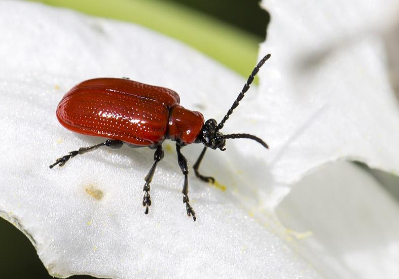 Lilioceris lilii  - Lilienhähnchen - Pilion (Griechenland) - Chrysomelidae - Blattkäfer - leaf beetles