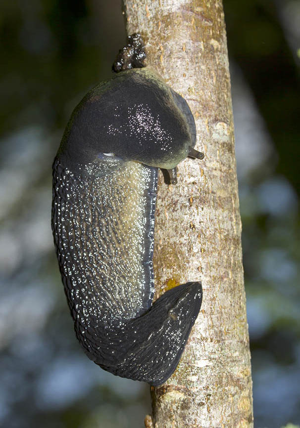 Limax cinereoniger - Schwarzer Schnegel - Fam. Limacidae - Schnegel - Stylommatophora - Landlungenschnecken - snails, slugs