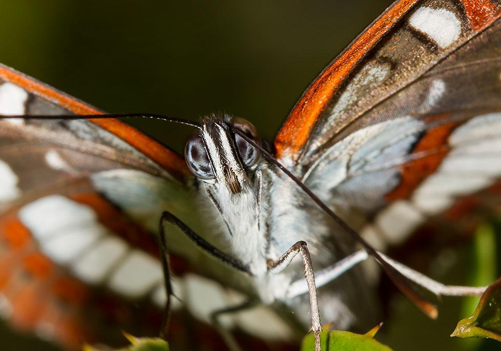 Limenitis reducta - Blauschwarze Eisvogel - Sardinien - Nymphalidae - Edelfalter - brush-footed butterflies