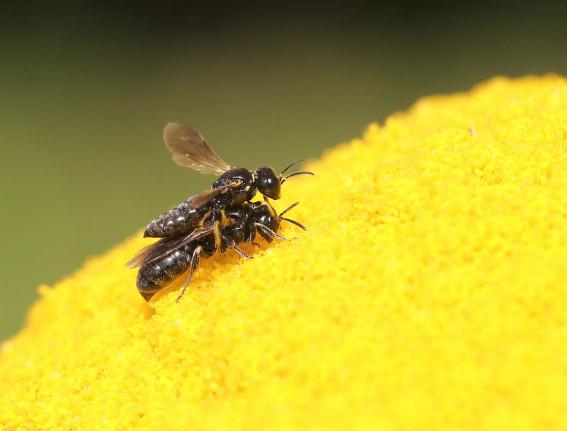 Lindenius albilabris -  - Spheciformes - Grabwespen - thread-waisted wasps