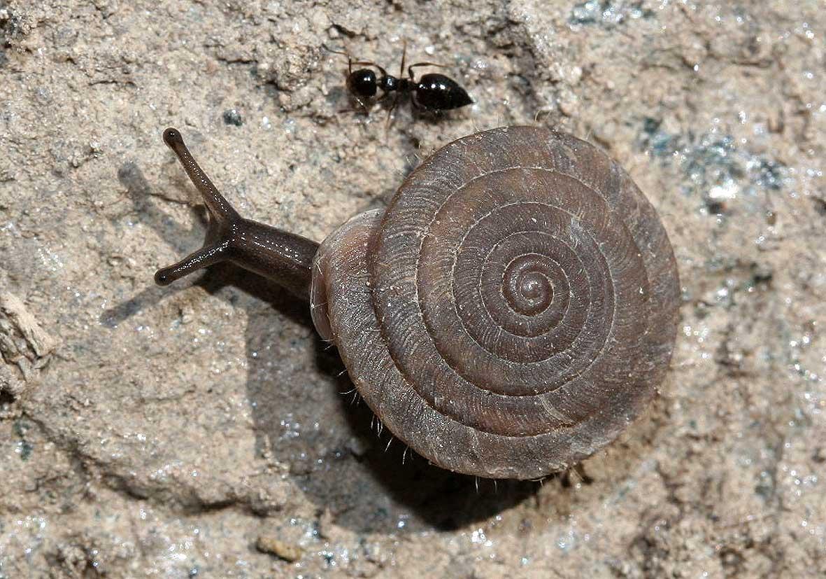 Lindholmiola sp. - Samos - Gastropoda - Schnecken - snails