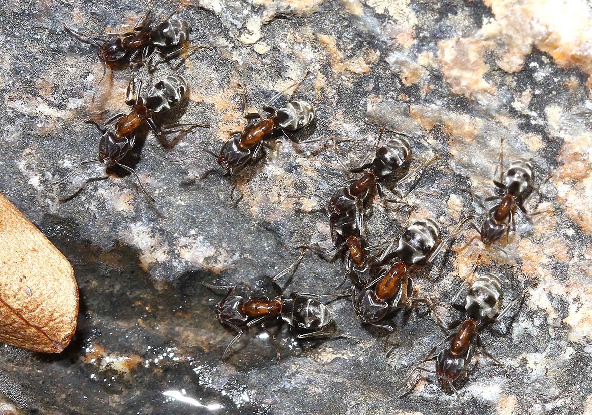 Liometopum microcephalus - Chalaris - Ikaria - Formicidae - Ameisen - Ants