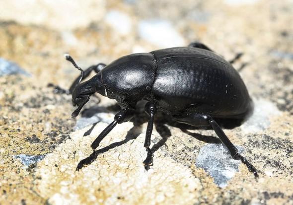 Liparus tenebrioides - Tinos - Curculionidae - Rüsselkäfer - weevils