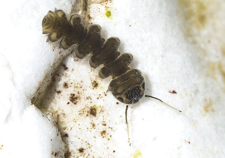 Liponeura cinerascens - Fam. Blephariceridae - Lidmücken - aquatische Dipteren-Larven
