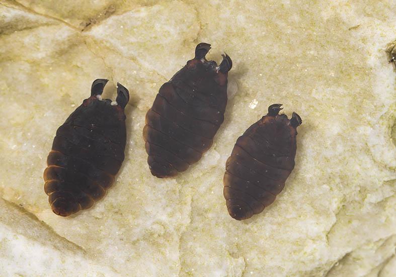 Liponeura cinerascens (Puppen) - Fam. Blephariceridae - Lidmücken - aquatische Dipteren-Larven