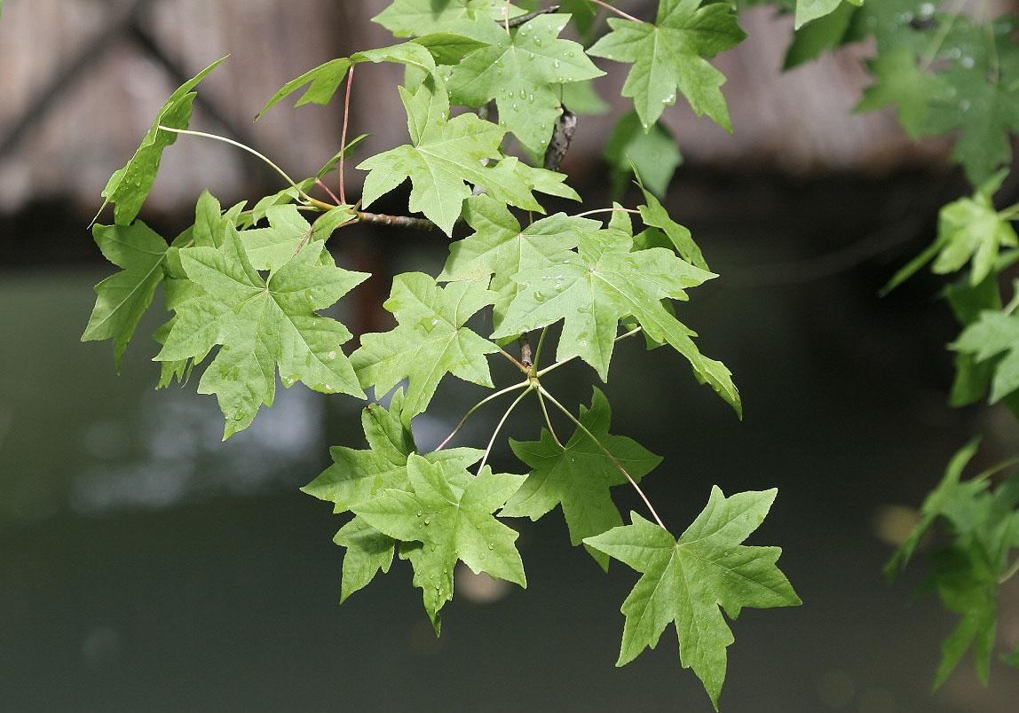 Liquidambar orientalis -  Östlicher Amberbaum -  - Fluss - River