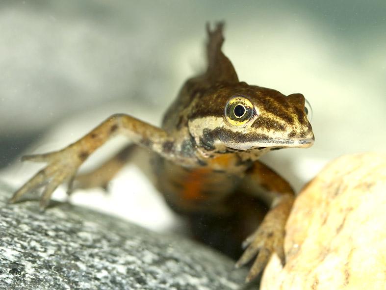 Lissotriton (Triturus) vulgaris  Teichmolch - Männchen - male - Salamandridae - Salamander, Molche - salamanders, newts