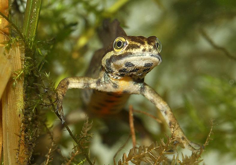 Lissotriton (Triturus) vulgaris - Teichmolch -  - Salamandridae - Salamander, Molche - salamanders, newts