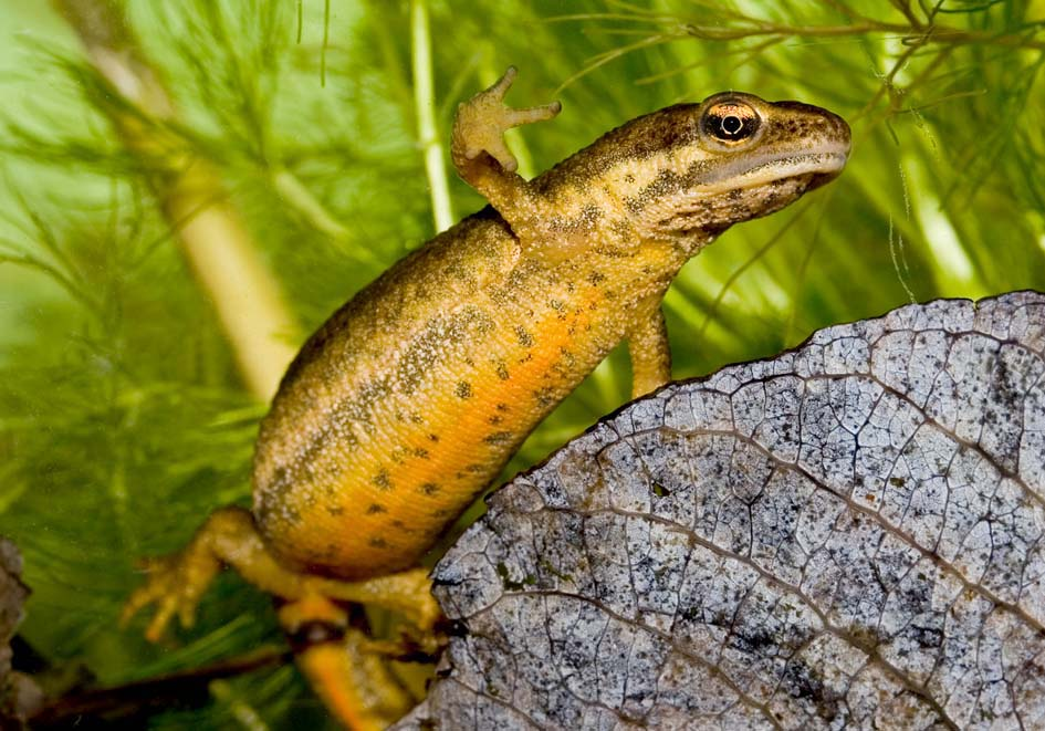Lissotriton (Triturus) vulgaris  -  Teichmolch - Weibchen - female - Salamandridae - Salamander, Molche - salamanders, newts