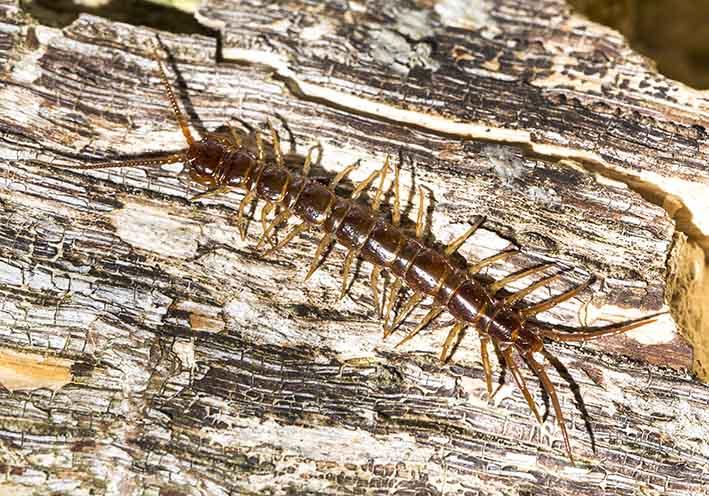 Lithobius forficatus - Gemeiner Steinläufer -  Fam. Lithobiidae - Steinläufer - Chilopoda - Hundertfüßer - centipeds