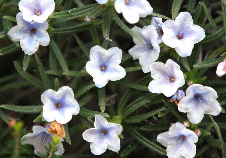 Lithodora hispidula - Borstiger Steinsame -  - Phrygana