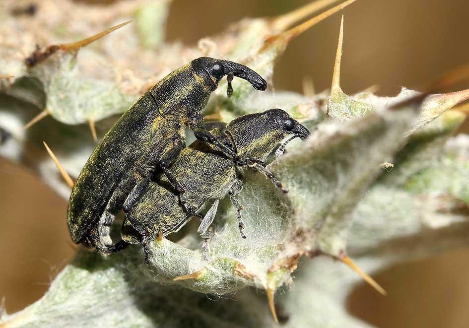 Lixus sp. - Samos - Curculionidae - Rüsselkäfer - weevils