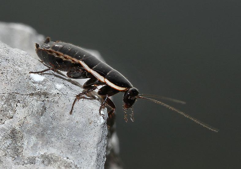 Loboptera sp. - Toscana - Blattodea - Schaben - Cockroaches