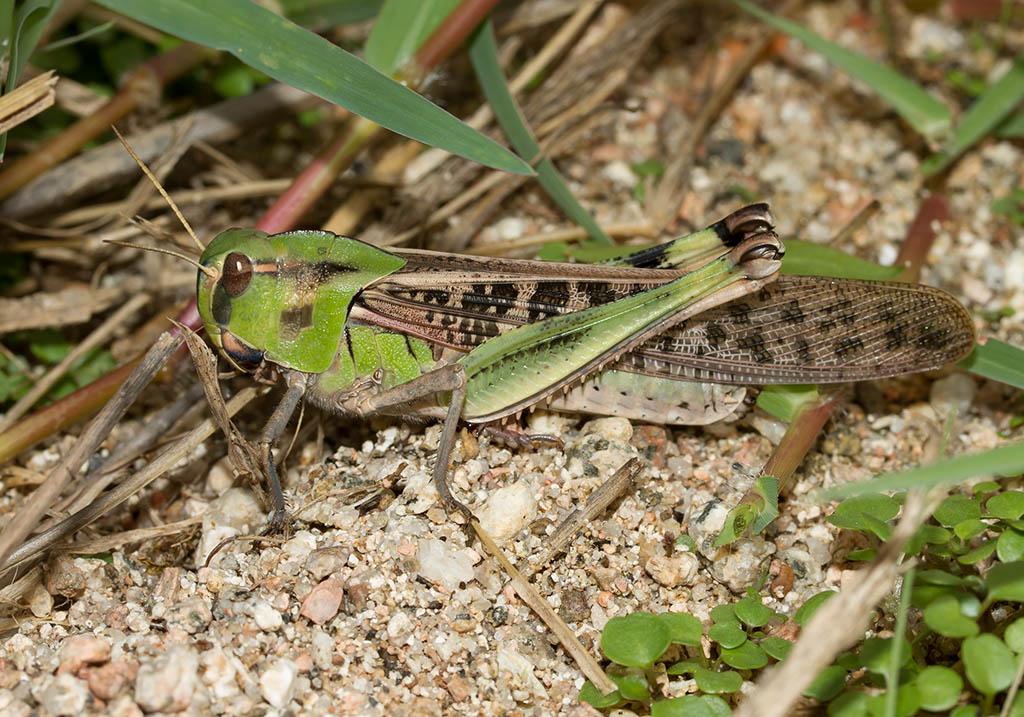 Locusta migratoria - Europäische Wanderheuschrecke - Fam.  Acrididae/Oedipodinae  -  Sardinien - Caelifera - Kurzfühlerschrecken - grasshoppers