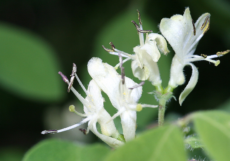 Lonicera xylosteum - Rote Heckenkirsche - Fam. Caprifoliaceae - Wald - forest