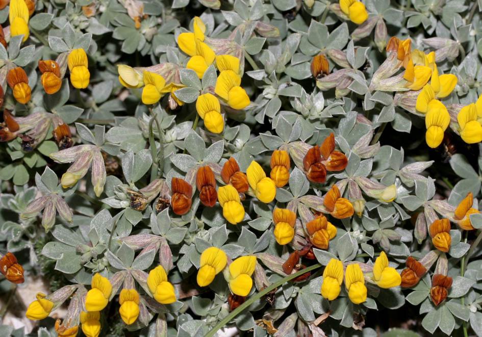 Lotus cytosoides - Geißkleeartiger Hornklee - grey birdsfoot trefoil -  - Gras- und Felsfluren - grassy and  rocky terrains