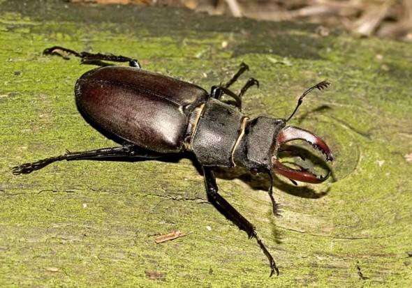 Lucanus cervus - Hirschkäfer - Männchen - Lucanidae - Schröter - stag beetles