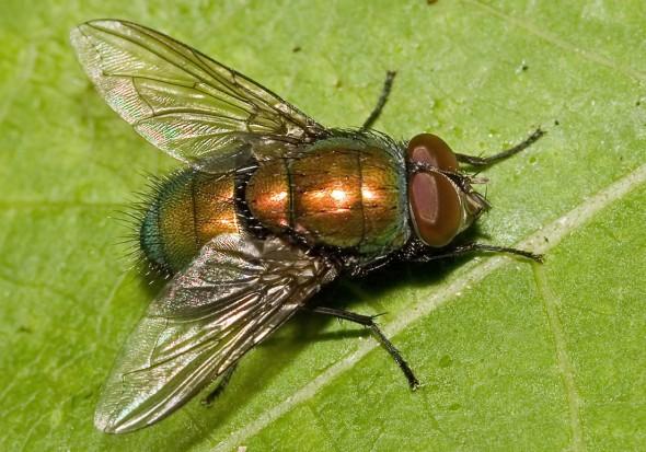 Lucilia sp. - Goldfliege - Fam. Calliphoridae - Schmeißfliegen - Brachycera (Fliegenartige) - Schizophora - muscoids