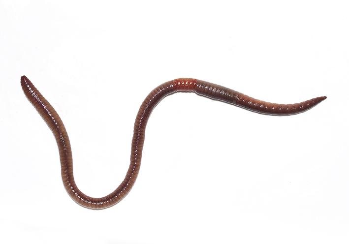 Lumbricus rubellus  - Roter Waldregenwurm -  - Clitellata - Gürtelwürmer - clitellates