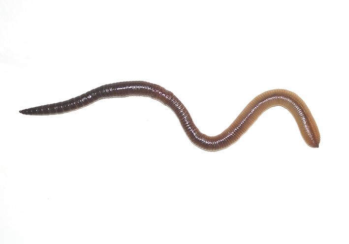 Lumbricus terrestris - Tauwurm -  - Clitellata - Gürtelwürmer - clitellates