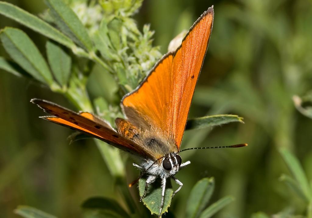 Lycaena dispar  -   Großer  Feuerfalter -  - Lycaenidae - Bläulinge - gossamer-winged butterflies
