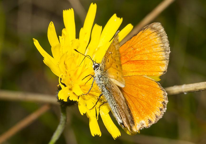 Lycaena virgaureae - Dukaten-Feuerfalter -  - Lycaenidae - Bläulinge - gossamer-winged butterflies