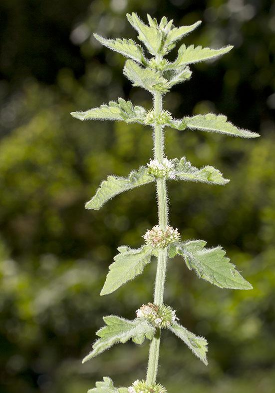 Lycopus europaeus - Weichhaariger Wolfsfuß - Fam. Lamiaceae - Feuchtgebiete - wetlands