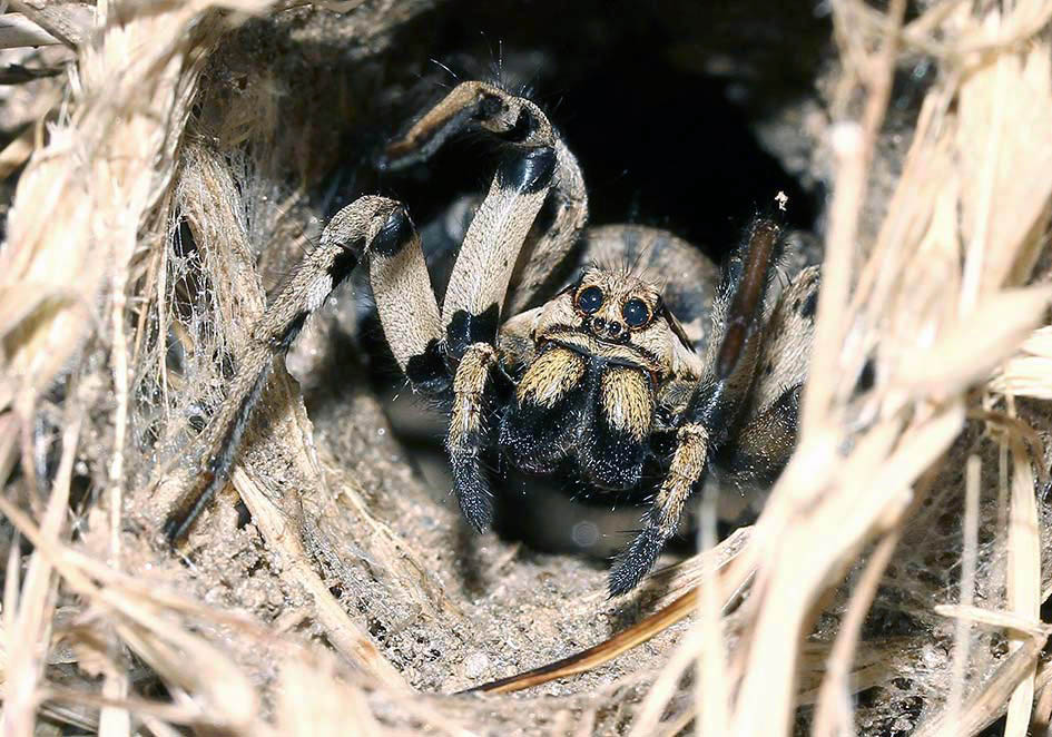 Lycosa praegrandis - Fam. Lycosidae  -  Samos - Araneae - Webspinnen - orb-weaver spiders