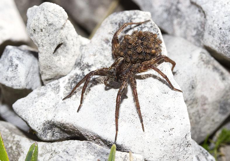 Wolfsspinne mit Jungen - Fam. Lycosidae  - Araneae - Webspinnen - orb-weaver spiders
