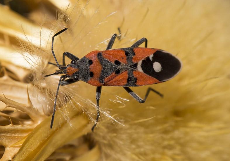 Lygaeus equestris - Fam. Lygaeidae  -  Tilos - Heteroptera - Wanzen - true bugs